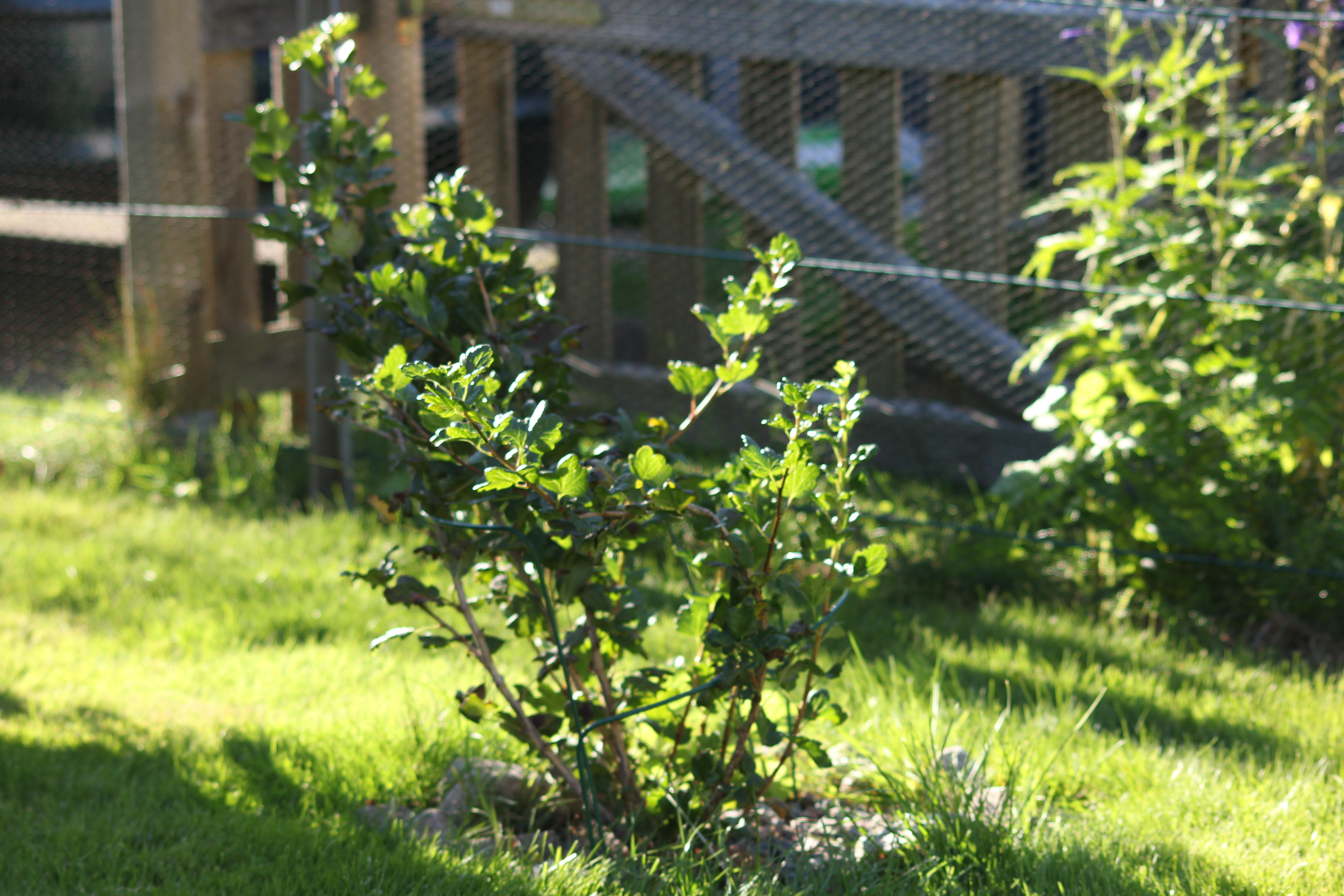 odla amerikanska blåbär